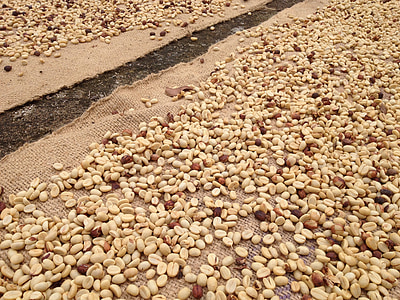 raw coffee, coffee beans, drying coffee, coffee, raw, agriculture, organic
