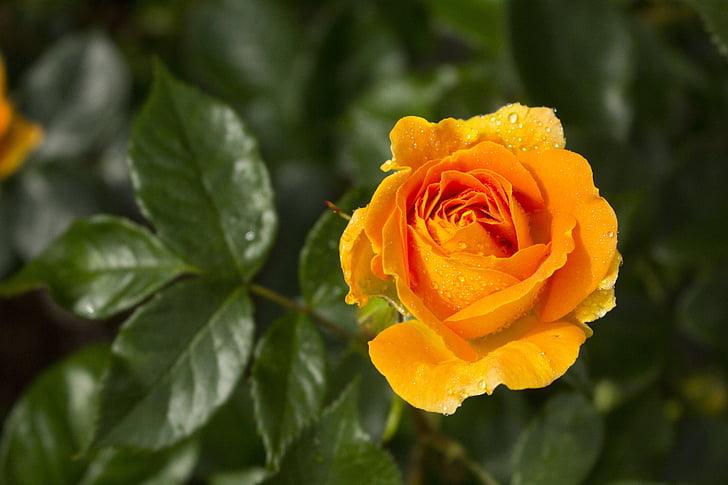 Rosa, flor, flors roses, flor, flor, natura