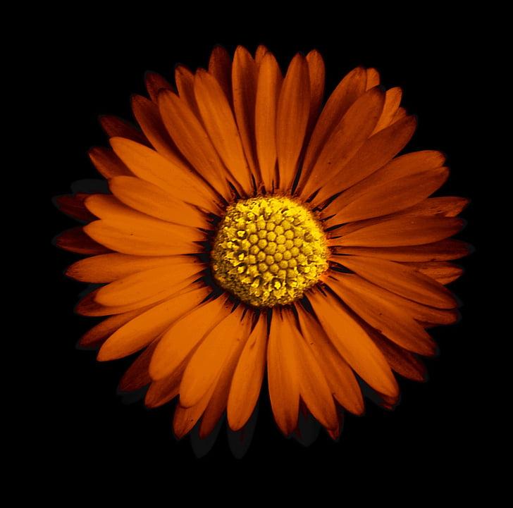 flower, daisy, yellow daisy, wild flower, daisies, petal, spring