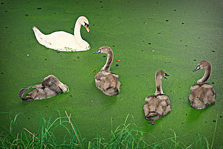 swan, cygnet, bird, waterbird, chick, young, family