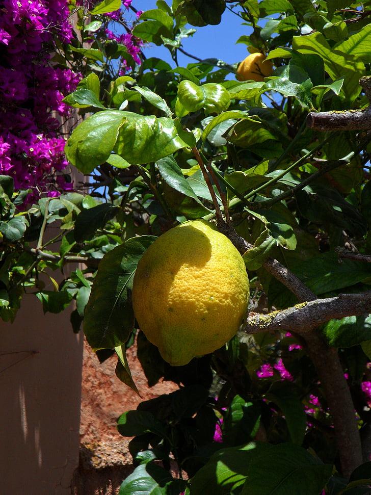 llimona, llimoner, cítrics, cítrics, fruita, groc, arbre