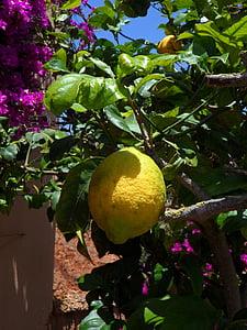 sitron, Lemon tree, sitrus, sitrusfrukter, frukt, gul, treet