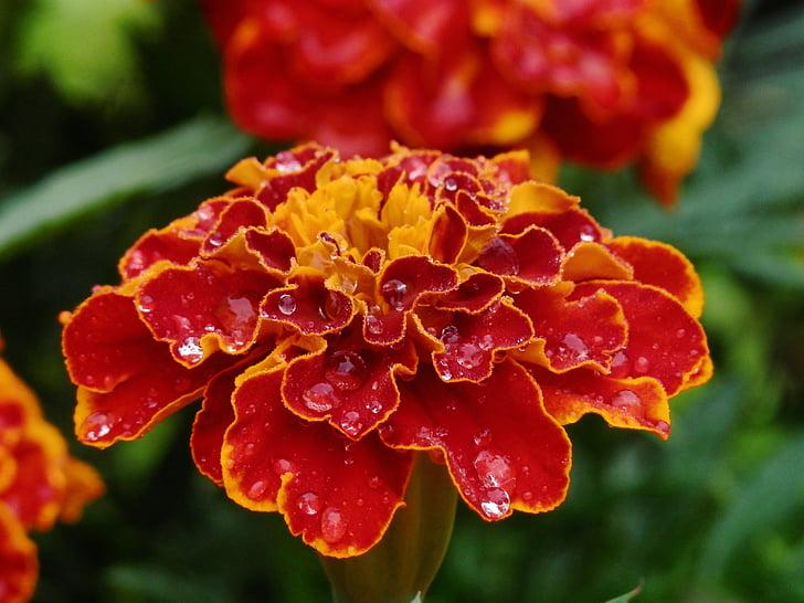 Gamta, gėlės, augalai, vasaros, Medetkų, gėlė, augalų