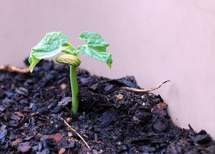 nova vida, planta de fesol, vegetals, primavera