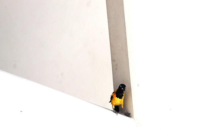 madár, sárga madár, sárga fekete madár, Curacao, sárga, természet, állatok