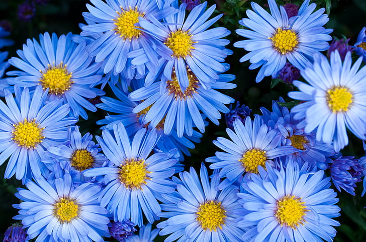 flors, Aster, blau, flor de color blau, jardí, al jardí, planta