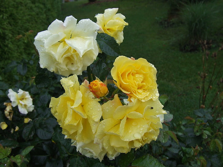 Cveće - Page 21 Roses-summer-bud-garden-preview