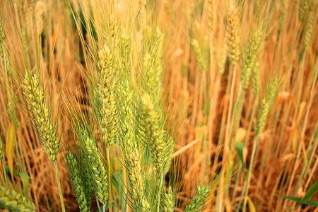 보 리, 맥주, 쌀, 농업, 필드, 곡물, 밀