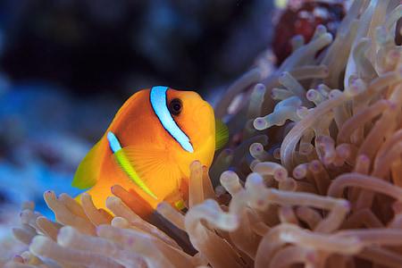 риба клоун, Немо, вода, морски животни, meeresbewohner, подводен свят, животните