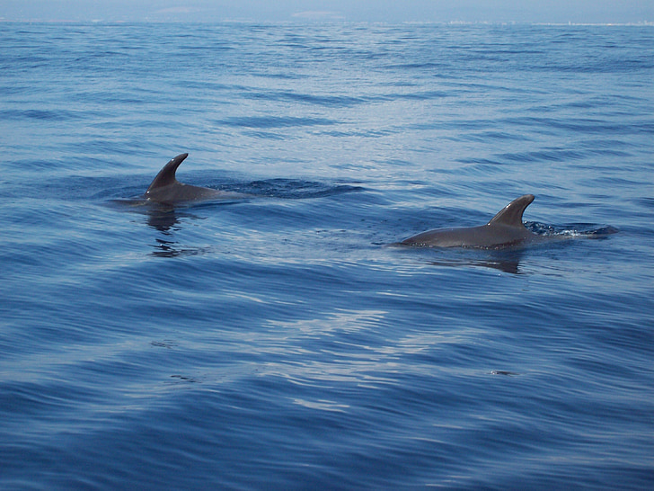dolphins, sea, sea animal, ocean, underwater world, swim, meeresbewohner