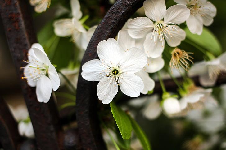 cvijeće, trešnja cvjetovi, proljeće tri cvijeta, bijelo cvijeće