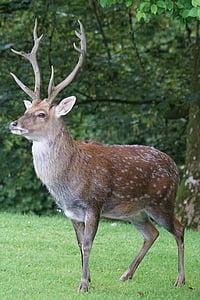 sika 사슴, 허쉬, platzhirsch, 포유 동물, 주의, 포인트, 성숙한