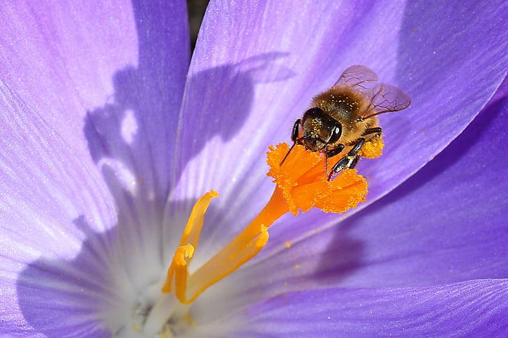kvet, kvet, pečiatka, hmyzu, Crocus, jar, Bee
