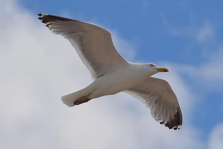 lokki, lintu, eläinten, Luonto, lentää, siivet, Flying