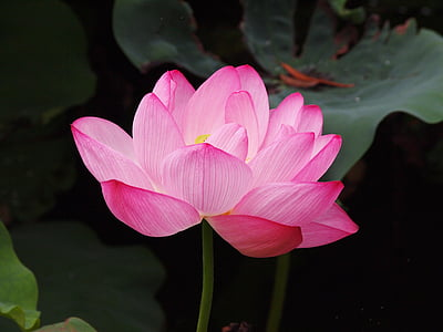 lotus flower, pink, lotus, nature, water Lily, pink Color, lotus Water Lily