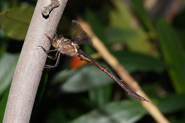 dragonfly, insect, red, nature, outside, macro, close-up