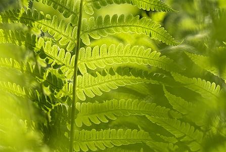 matteucia struthiopteris, Falguera, fulla, verd, natura, botànic, planta