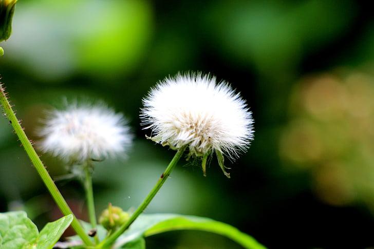 flor del vent, verd, flors, dent de Lleó, suau i esponjosa, sec, llavors
