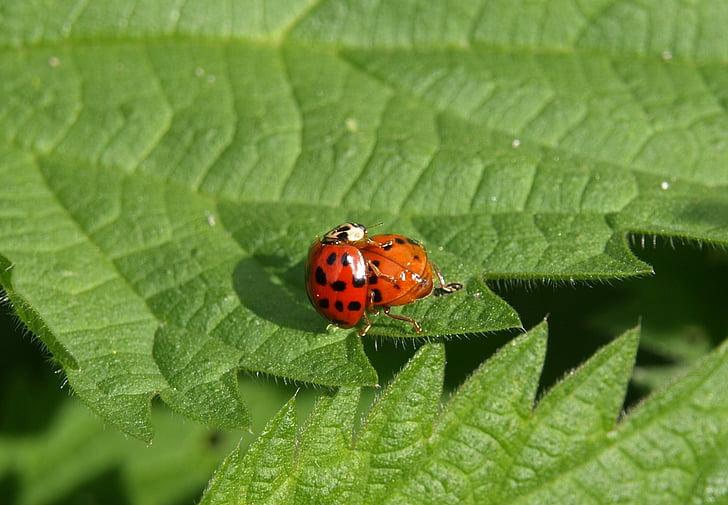 Mariquita, Maridatge, parella, parell, insecte, escarabat, tancar