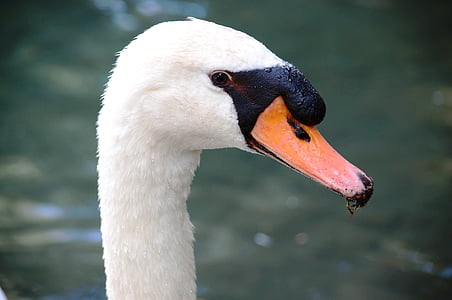 ocell, l'aigua, Cigne, animals, blanc, nedar, cignes