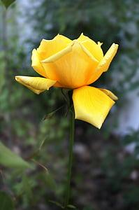 kollane roos, tõusis, kollane, lill, Aed, loodus, õie