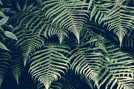 natura, planta, Falguera, fulles, fronda, verd, medi ambient