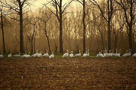 whooper swan, swan, swans, field, arable, autumn, migratory bird