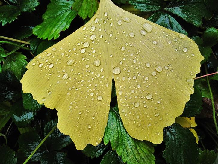 ginkgo leaf, raindrop, fan-shaped leaf, fan shaped, broad leaves, foliage leaf, bright yellow