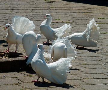 kyyhkyt, valkoinen doves, valkoinen, lintu, Kaunis, valkoinen kyyhkynen, Luonto