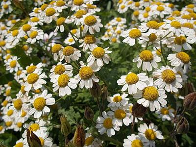 naturlægemidler, Herb, naturlige, plante, Aromaterapi, haven, natur