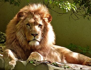 animal, big, carnivore, feline, fur, furious, jungle