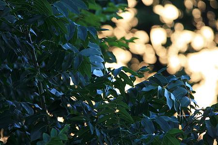 Cape pepela drevo, drevo, zelena, svetleči, Cape pepela, listje, svetle pike