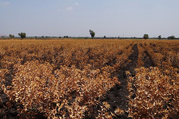 camps de càrtam, cultiu, madures, preparat de collita, Karnataka, l'Índia