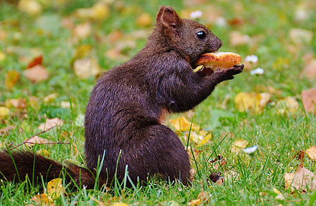 esquirol, nager, valent, natura, rosegador, pujar, jardí
