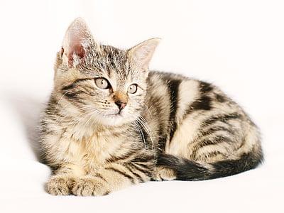 pisica, animal de casă, cu dungi, pisoi, tineri, fundal alb, pisici domestice