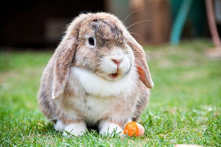 razviti i ušima, zec, zec, životinja, biljni i životinjski svijet, divlje, zoologija