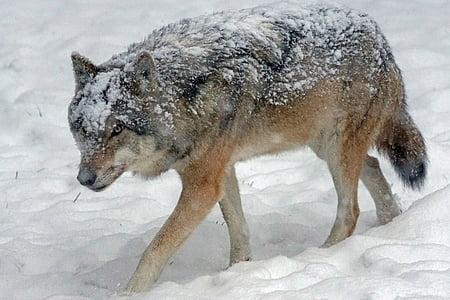 Wolf, Predator, kiskjaliste, Canis lupus, Pack looma, sotsiaalse, Euroopa