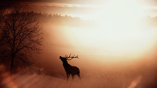 Feld, Natur, Hirsch, Geweih, Wild, Sonnenaufgang, Nebel
