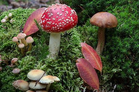 forest, moss, mushrooms, moss fliegenpilz, forest floor, chestnut