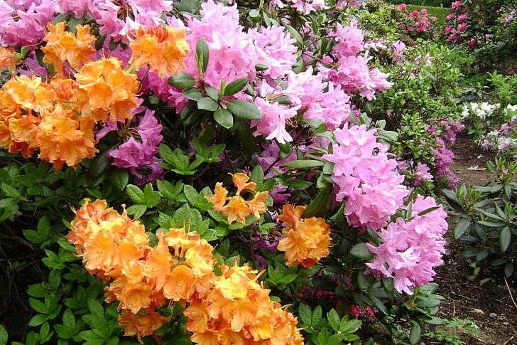 azalees de flor gran, flors, primavera