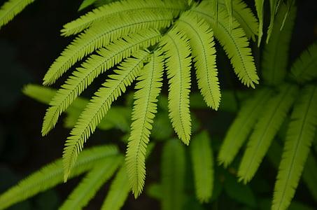 kapradiny, listy, závod, zelená, Flora, vzor, přírodní