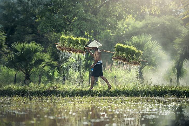 landbruk, Asia, Kambodsja, korn, barn, landet, dyrke