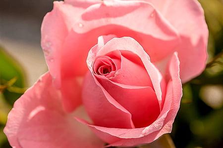 Rosa, flor rosa, flor, flor, flor, flors, Rosa