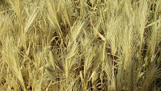 Küpros, kõrva, maal, kuld, kevadel, loodus, põllumajandus