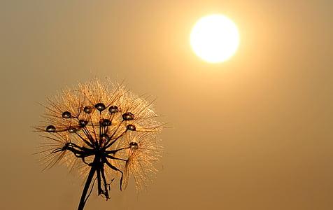 민들레, 태양, 이 슬, 물, 식물, 자연, 공장