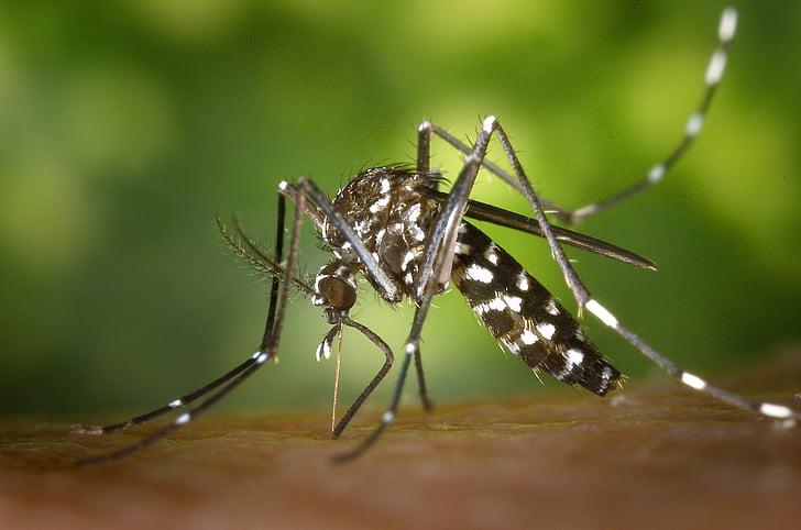 mosquit tigre, mosquit, tigermücke asiàtica, picada, stegomyia albopicta, mosquit tigre, Endolli's al mosquit
