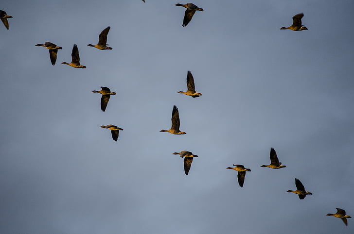wild geese, migratory birds, bird migration, bird, flying, nature, animal