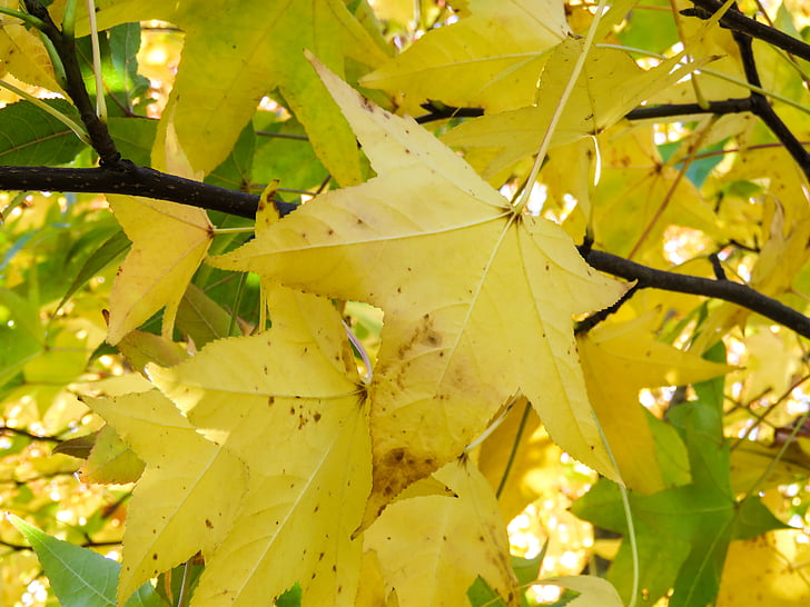 gul, blad, träd, lämnar, grenar, Leaf, grön färg
