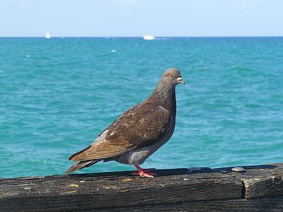 kyyhkynen, Pier, lintu, vesi, Sea, Harbor, eläinten