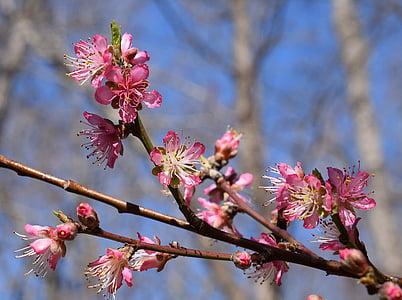 peach blossoms, peach tree, blossom, flower, bloom, spring, nature